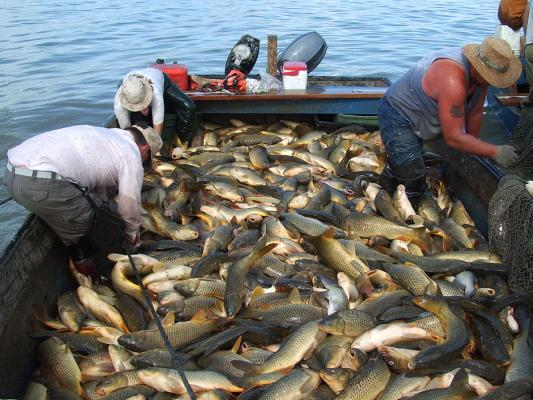 Boat-full-of-carp