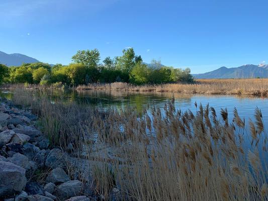 Provo-River-reeds-bank